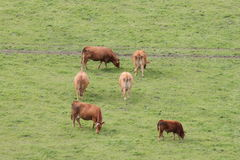 Brown Cows. A view of some brown cows from a rock royalty free stock image