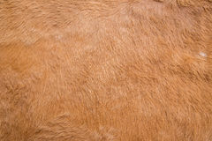Brown cowskin Obrazy Royalty Free
