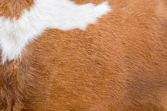 Brown-Cowskin Stockfoto