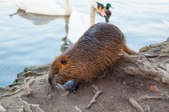 Brown coypu and swan in wild nature. Brown coypu eating green grass on shore of river near roots of tree on backround of water near white swan, close up stock photo