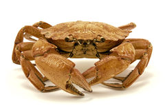 Brown crab Royalty Free Stock Images