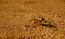 Brown Crab. In sand, Close Up stock photography