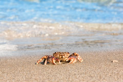 Brown crab on beach surface background Royalty Free Stock Image
