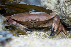 Brown Crab (Cancer Pagarus) Royalty Free Stock Photography