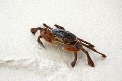 Brown crab on the white sand Royalty Free Stock Photo