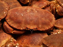 Brown crabs. Closeup of live brown crabs at market.  Species:  Cancer pagurus Stock Images