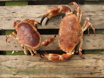 Brown crabs. Male and female brown crabs royalty free stock photo