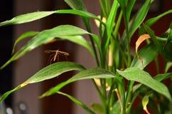 Brown Crane Fly était perché sur une plante d'intérieur en automne, le Missouri du nord-ouest Photos stock