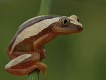 Brown and cream spotted tree frog. Rare brown striped tree frog spotted hanging onto a reed at the edge of a dam Royalty Free Stock Photos