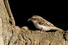 Brown Creeper. Brown Creepr perched on a trunk eating an insect (Certhia americana Royalty Free Stock Photography