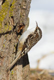 Brown Creeper Stock Photo