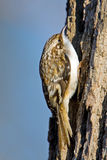 Brown Creeper. Creeping up a tree Royalty Free Stock Photo