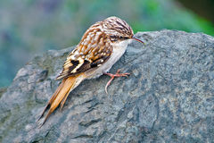 Brown Creeper. Climbing on rocks of a beach jetty stock photo