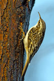 Brown Creeper. Creeping up a tree stock photo