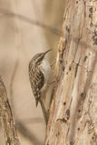 Brown Creeper Royalty Free Stock Images