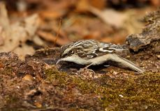 Brown Creeper Close-up. Close-up of brown creeper foraging on moss covered log Royalty Free Stock Images