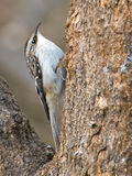 Brown Creeper Stock Images