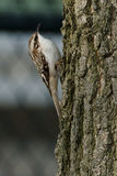 Brown Creeper Stock Photography