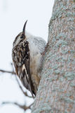 Brown Creeper Stock Image