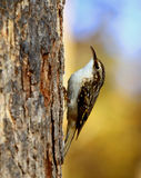 Brown Creeper Royalty Free Stock Photos