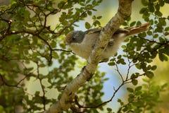 Brown creeper - Mohoua novaeseelandiae - pipipi small bird from New Zealand, grey head and pale body.  royalty free stock photo