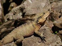 Brown crest water dragon, Australia