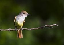 Brown-crested flycatcher 2 Stock Image