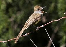 Brown-crested Flycatcher 3 Stock Photography