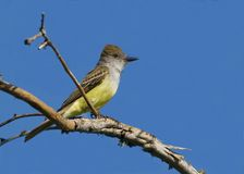 Brown-crested flycatcher Royalty Free Stock Photos