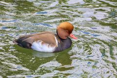 Brown Crested le canard Images stock