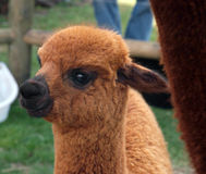 Brown Cria (Young Alpaca) Royalty Free Stock Photo