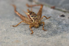 Brown Cricket Stock Images