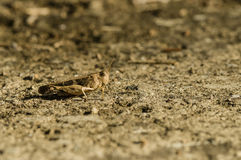 Brown cricket camouflage Royalty Free Stock Photos
