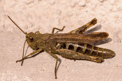 Brown cricket Royalty Free Stock Images