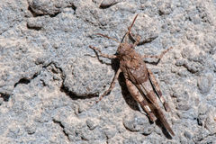 Brown cricket macro on white and grey Stock Photos