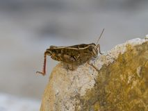 Brown cricket on rock stock images