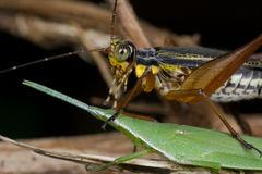 Brown cricket on top of a green grasshopper Royalty Free Stock Photo