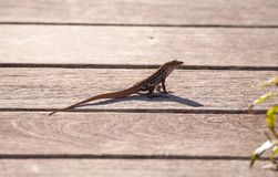 Brown Cuban anole Anolis sagrei perches on a boardwalk. In the Ding Darling National Refuge on Sanibel Island, Florida stock image