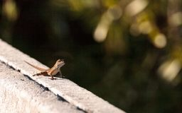 Brown Cuban anole Anolis sagrei perches on a fence. In the Ding Darling National Refuge on Sanibel Island, Florida royalty free stock photos