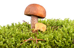 Brown cup mushroom Stock Photography