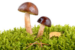 Brown cup mushrooms Stock Photography