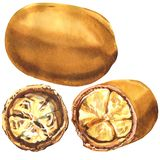 Brown cupuacu, Brazilian fruit, whole and half isolated, hand drawn watercolor illustration on white. Background royalty free illustration