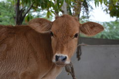 Brown cute baby cow in farm. With trees in background Royalty Free Stock Photos