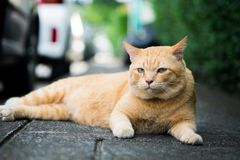 A brown cute cat. A brown cute cat lying down and rest on the floor, selective focus Stock Photo