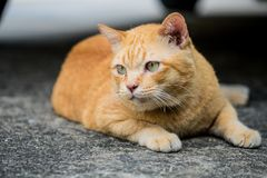 A brown cute cat lying down. A brown cute cat lying down and rest on the floor, selective focus stock photography