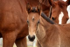 Brown cute foal portrait with his mother. At the pasture Stock Image