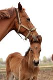 Brown cute foal portrait with his mother. At the pasture Royalty Free Stock Photos