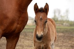 Brown cute foal portrait with his mother Royalty Free Stock Photo