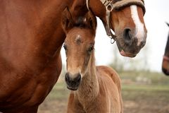 Brown cute foal portrait with his mother. At the pasture Stock Photo