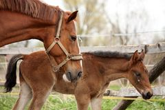 Brown cute foal portrait with his mother Royalty Free Stock Photos